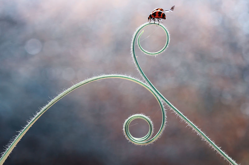 Close-up of ladybug on tendril