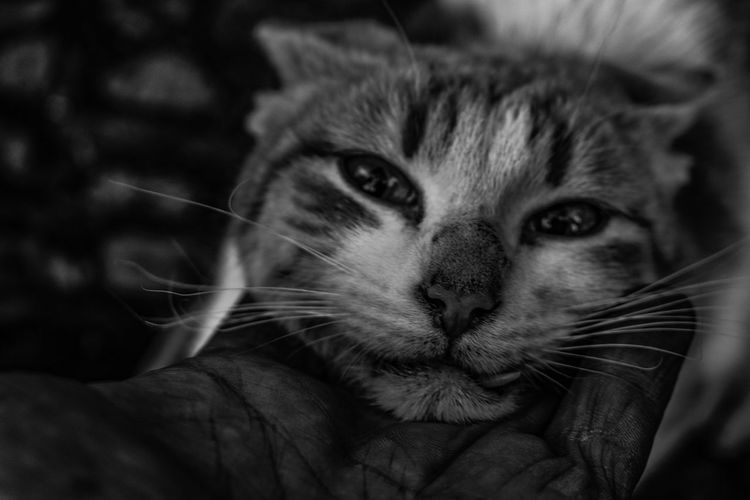 Attention! Angry cat! Cat Domestic Animals Pets Feline Domestic Mammal Domestic Cat One Animal Portrait Animal Body Part Whisker Looking At Camera Close-up Vertebrate Cute Animal Eye Black And White Photography Black & White Black And White Animal Hair Looking Focus On Foreground Bnw_friday_eyeemchallenge My Best Photo