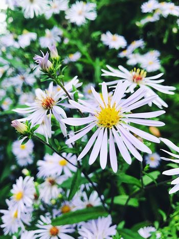 chamomile🌸 Flower Fragility Petal Nature White Color Freshness Beauty In Nature Flower Head Focus On Foreground