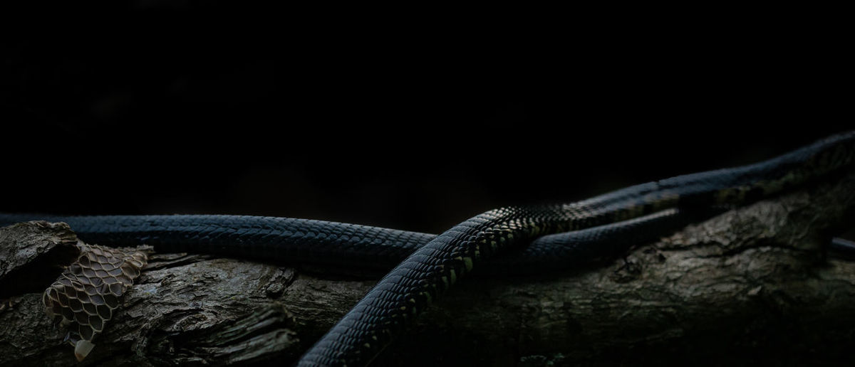 High angle view of snakes on wood against black background