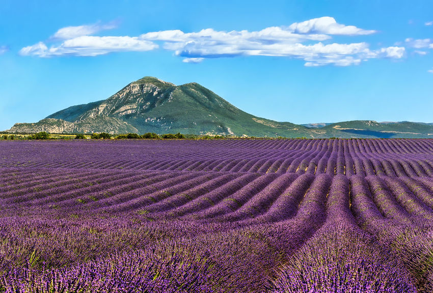 Summer scent. Agriculture Beauty In Nature Blue Sky White Clouds Cloud - Sky EyeEm Best Shots Field Flower French Alps Landscape Lavender Lavender Field Lavender Fields Mountain Mountain View Outdoors Provence Purple Rural Scene Scenics Sky South Of France Tourist Attraction  Tranquil Scene Travel