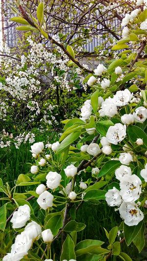 Nature Beauty In Nature Day No People Flower Springtime Spring Beauty In Nature Blossoming  White Flowers Flora Blossoming  Blossom Green природа весной красота белые цветы цветение весна