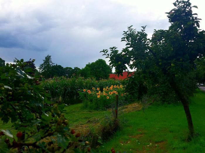 Countryside Sunflowers Fruit Trees Fence Maisfeld Colour Of Life Colours Of Nature Clouds And Sky Colour Contrast Showcase August Ladyphotographerofthemonth Nature Colour Splash Idyllic Idyll Idyllic Scenery Gorgeous View Trees And Sky Trees And Bushes Lost In The Landscape