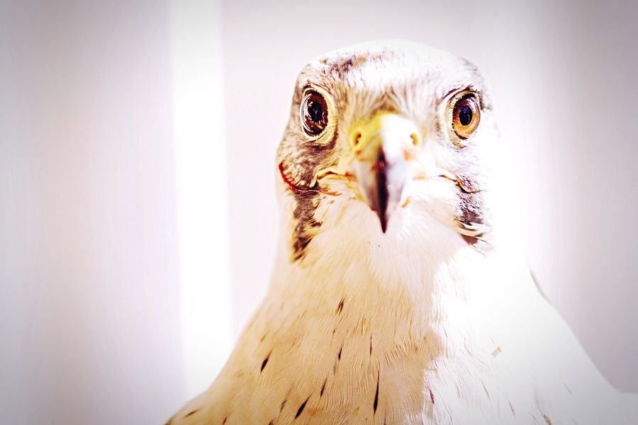 A beautiful hawk in the science park Granada Open Edit Hawk Bird Photography Animal Portrait Bird EyeEm Best Shots Granada