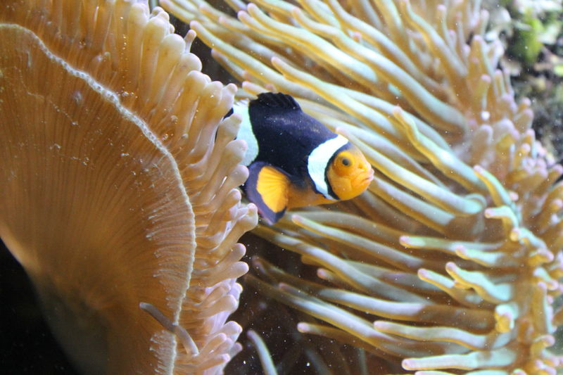 Anenome Clownfish Finding Nemo Findingnemo Fish Nemo Sea Life Underwater Water
