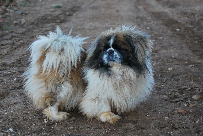 Dogs Of EyeEm Taking Photos Close-up Dog Dogs In Nature Domestic Animals Pekingese Pekingese Puppies