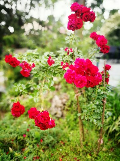 Flower Nature Red Growth Day Focus On Foreground Outdoors Beauty In Nature Green Color Freshness Plant No People Fragility Peony  Close-up Flower Head Tree Pink Color Bathroom Sink Rosé Rose Rose Flower Nature Rose Rosse Fiore