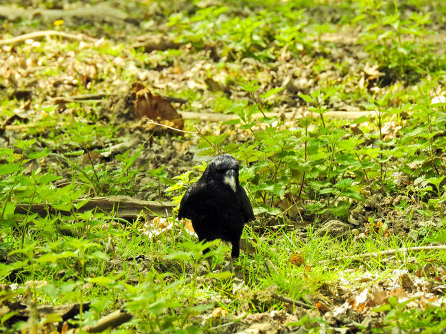 Abraxas Animal Animal Themes Animal Wildlife Animals In The Wild Bird Black Color Blackbird Day Field Grass Green Color Land Nature No People One Animal Outdoors Perching Plant Raven - Bird Selective Focus Vertebrate Young Animal
