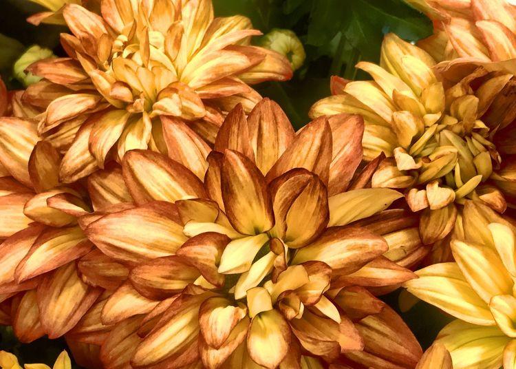 Full frame shot of yellow dahlia flowers