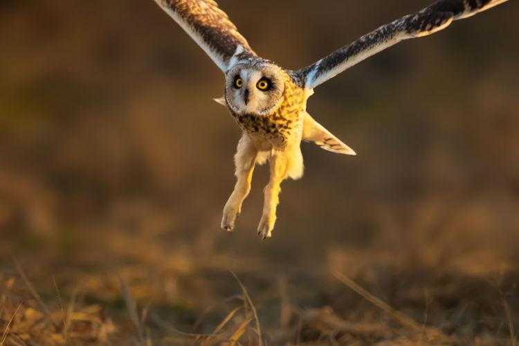 短耳鸮:它突然飞向相机,距离已近