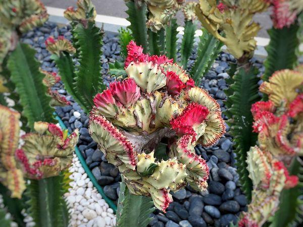 Cactus Flower EyeEm Cactus Cactus Garden Naturelovers Cactusflower In The Garden Now Garden Photography