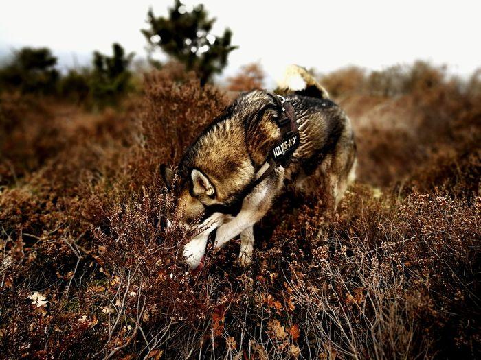 Husky Husky ♡ Huskyphotography Dog Nature