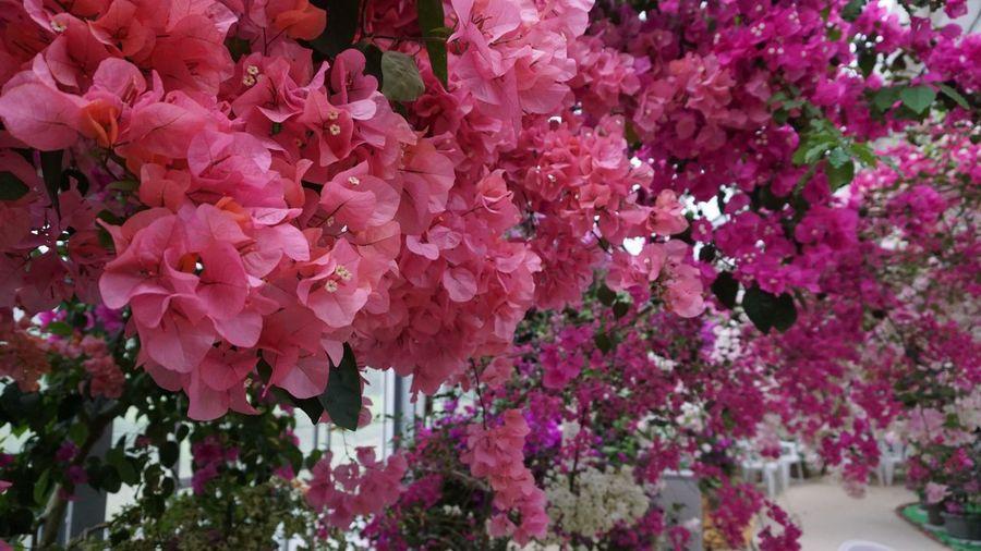ブーゲンビリア🌸また来てしまった・・・とってもきれい❣️( ˘͈ ᵕ ˘͈ ) ブーゲンビリア ブーゲンハウス 佐賀県 嬉野市 嬉野温泉 Ureshino Saga,Japan Japan Flower Pink Color Flowering Plant Plant Freshness Fragility Growth Beauty In Nature Vulnerability  Blossom Nature Full Frame Day Bougainvillea Springtime