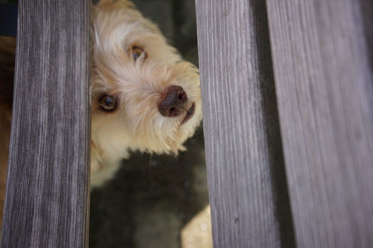 Close-up of dog peeking through wooden fence