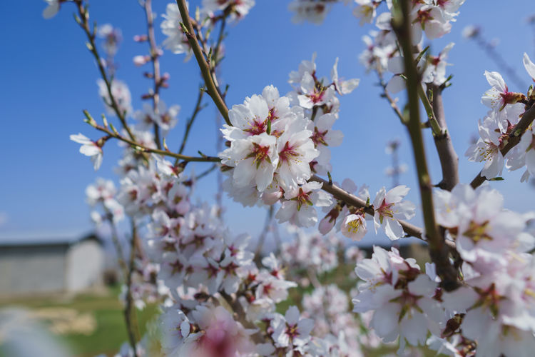 Flowering Plant Flower Plant Fragility Freshness Growth Vulnerability  Beauty In Nature Tree Blossom Springtime Nature Close-up Branch Petal Day White Color Cherry Blossom Twig Fruit Tree No People Flower Head Pollen Outdoors Cherry Tree