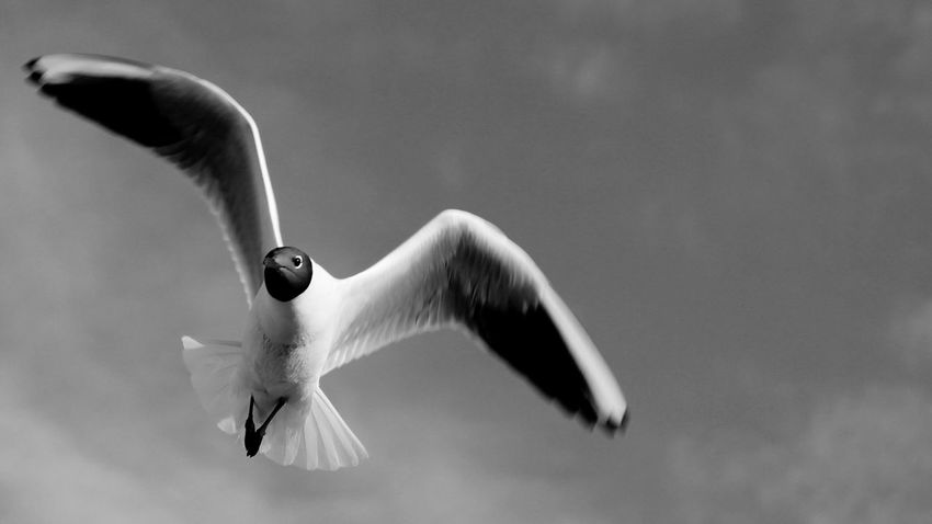 April 2014 Animal Themes Animals In The Wild Beak Beginnings Bird Black Background Close-up Copy Space Danger Human Body Part Negative Space New Life One Animal Part Of Seagull Selective Focus Side View Softness Studio Shot Wildlife Zoology