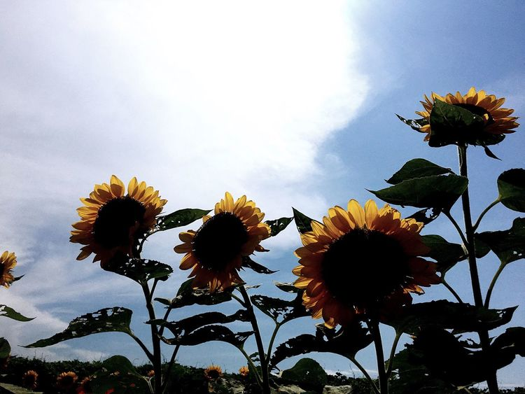 Flower Freshness Fragility Nature Flower Head Growth Beauty In Nature Petal Sky Plant Low Angle View Sunflower Blooming No People Day Cloud - Sky Outdoors Close-up Eyeem Philippines