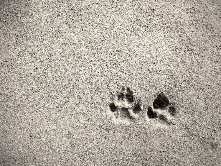 Footprint of dog on the concrete rough floor. Foot Sign Animal Concrete Dog FootPrint Footsteps Paw Print Print Textured  Trace