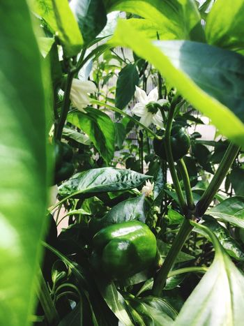 Peppers in progress Allotment Life Organic Homegrown Peppers Growth Plant Plant Part Green Color Leaf Close-up Nature Food Selective Focus Agriculture