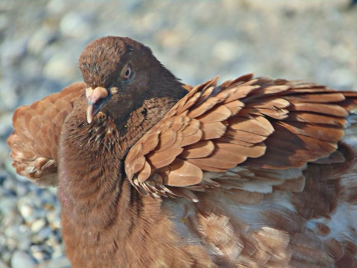 голубь перья крылья Коричневый клюв Природа птица животное красота