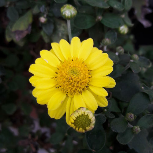 🌻🌻🌻 Flower Flower Head Yellow Yellow Flower Smartphonephotography Samsung Experience Brazil Discover Your City Discover Brazil Nature Nature_collection Popular Photos Popular