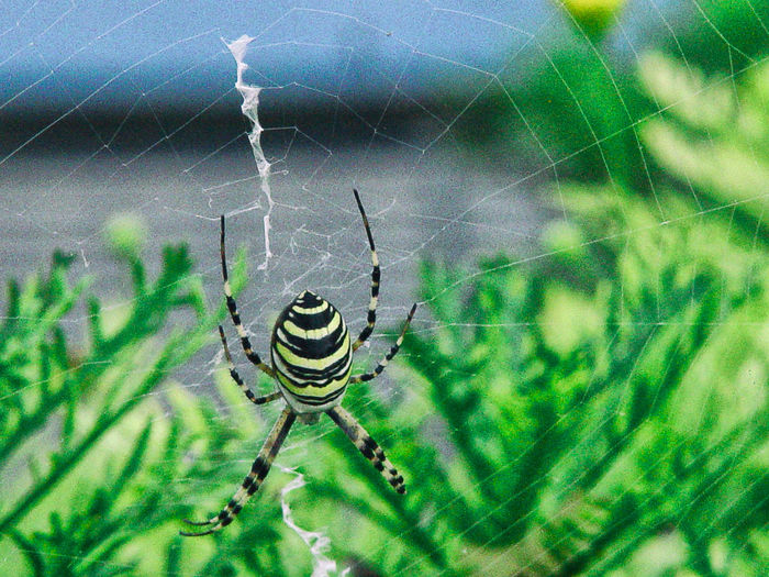 Animal Themes Animals Close-up Day Focus On Foreground Fragility Leaves On Background Leaves🌿 Nature No People One Animal Spider Spider On Foreground Spider Web Spiderweb Spinning Weaving Macro Beauty