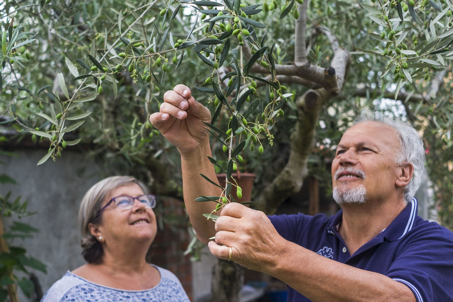 olive tree. elderly senior couple in countryside like home farm work together, with plants cutting and repair them. family concept of life forever together with love and affection Olive Tree Adult Beard Careful Casual Clothing Countryside Day Elderly Couple Front View Growth Headshot Leisure Activity Lifestyles Males  Mature Adult Men Nature Outdoors People Plant Portrait Real People Senior Adult Tree Two People