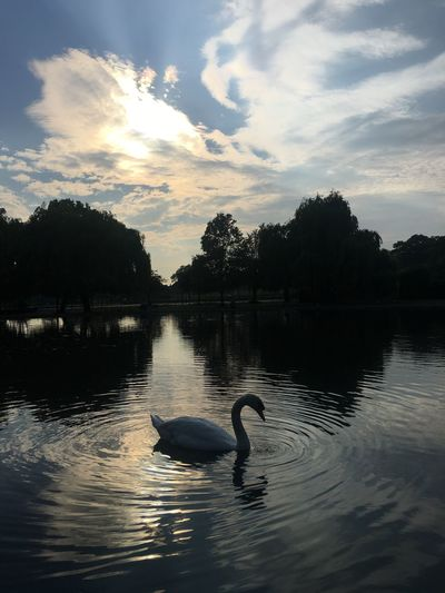 Animals In The Wild Animal Themes Water Bird Sunset Reflection Lake Animal Wildlife One Animal Nature Swan Cloud - Sky Swimming Waterfront Beauty In Nature Tree Silhouette Sky Water Bird Oziref EyeEm Best Shots - Nature London The Week Of Eyeem Picoftheday Scenics