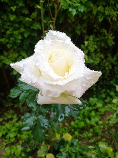 Rose Blanche Flower White Color Fragility Plant Nature Close-up Rose - Flower