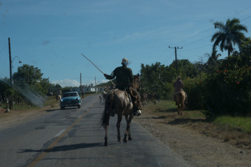 Cat Cowboys Cows Cows On The Street Cuba Cuba Collection Day Domestic Animals Herd Of Cows Horse Mammal Men Outdoors People Riding Road Sky Street Transportation Tree