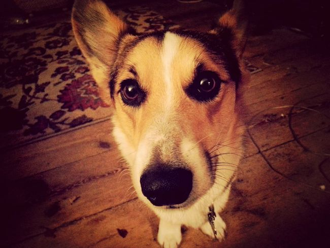 I've got a big head, and little arms! Cheese! I Love My Dog Pembrokewelshcorgi