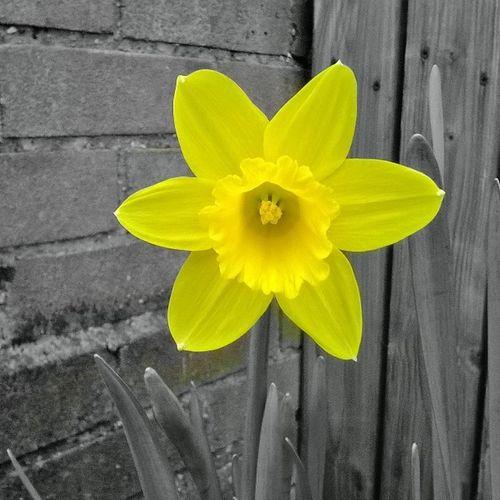 Springtime 😊these were my mums favorite flowers Springtime Daffodil Legday Picoftheday Instadaily Easter Followme Life Love Happy Foodprep Sundaysaremybusyday Missmywakeup ProjectMatt