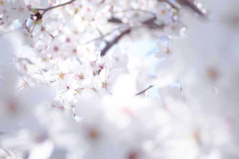 Flower Fragility Flowering Plant Beauty In Nature Freshness Vulnerability  Plant White Color Blossom Springtime Growth Close-up Nature Cherry Blossom Outdoors