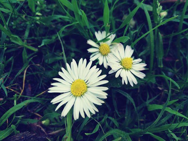 Small Flower Daisy