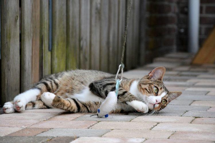 Toy Hanging By Cat Resting On Footpath