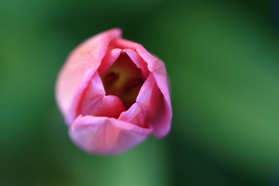 Beauty In Nature Fleur Flower Petal Pink Single Flower Tulipe Macro
