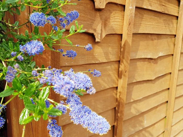 blue plant in garden and wooden fence Wooden Fence EyeEm Selects Flower Multi Colored Wood - Material Close-up Lavender Purple Lavender Colored In Bloom