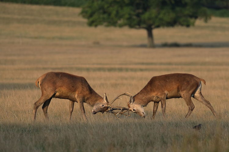 Two young red deer stags mock fighting