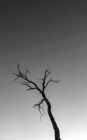 Silhouette of a bare tree against the sky Silhouette Bare Tree Black And White Branch Clear Sky Day Dead Plant Lone Low Angle View Nature No People Outdoors Silhouette Photography Silhouette_collection Sky Tree Tree Trunk