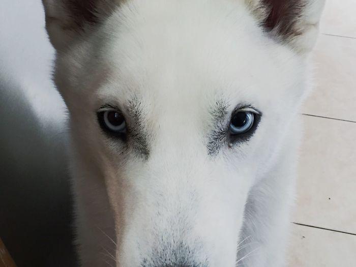 Close-Up Portrait Of Husky Dog