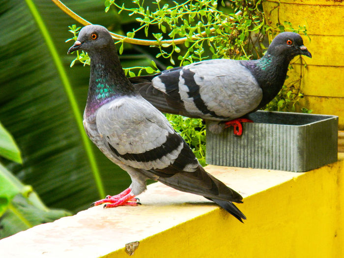 TWO PEGIONS Perched Birds Posing For The Camera Wall Sitting Pretty Close-up Perching Pigeon Dove - Bird Avian