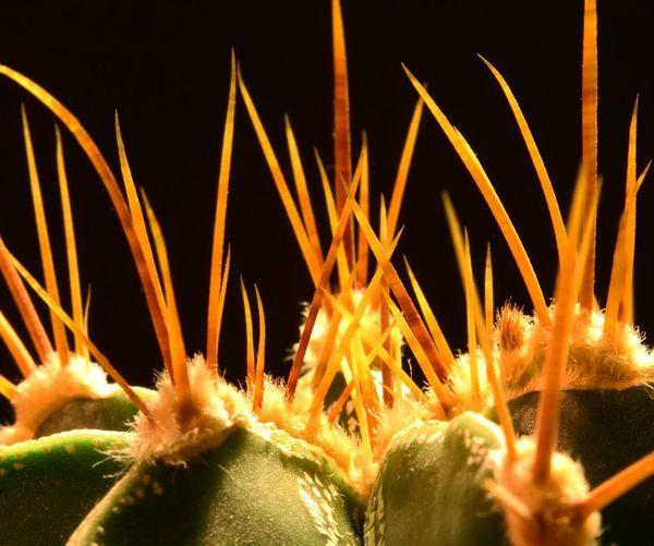 Succulent Cactus Succulents, Cacti, Flowers, Cicek, Plants, Agaclar, Macros,#closeups, Photos, Photographers, Photography, Instagram, Like4like, Likeforlike, Canon,  7d, Wonderful,#amazing, Awesome, Followme, Shot, Shots, Arts Art, Cactus Collection Closeupshots Macro_collection Macro Photography SucculentsLover Plants And Flowers Close-up