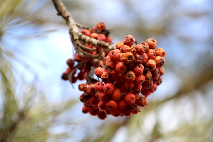 RED BERRIES Plant Growth Tree Berry Fruit Focus On Foreground Nature Close-up Freshness Day Selective Focus Low Angle View Beauty In Nature Red Outdoors Rowanberry Ripe No People Canonphotography Canon Bluesky Wrinkled Rotting Colorful Naturelovers Plenty Things That Go Together