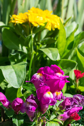 Snapdragons Snapdragon Yellow Flower Plant Nature Purple Leaf Petal Fragility No People Outdoors Growth Flower Head Close-up Day Multi Colored