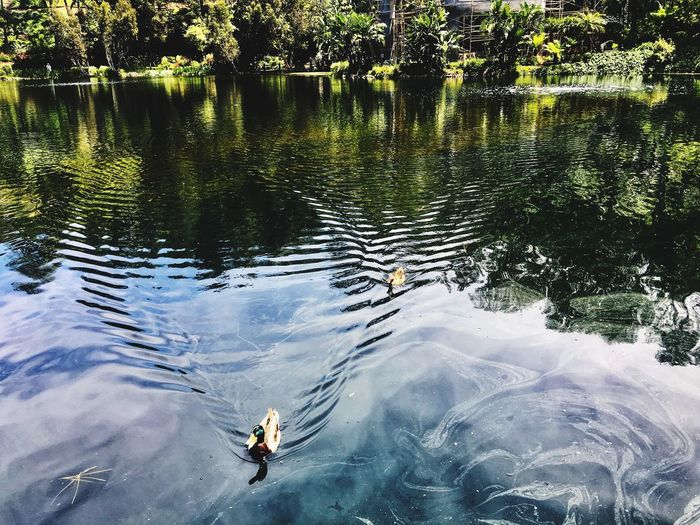 Ripples Ducks Wildlife Mallard Duck Water High Angle View Real People Nature Lake Day EyeEmNewHere Reflection Lifestyles Waterfront Leisure Activity Beauty In Nature Outdoors Rippled Swimming Tree Plant The Great Outdoors - 2018 EyeEm Awards