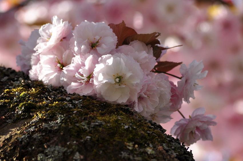 Cherry Blossoms Sakura Beauty In Nature Garden Outdoors Pink Color Prunus Serrulata Shirofugen Springtime