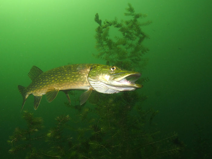 Pike Northern Pike Sweetwater Lake Animal Animal Themes Animal Wildlife Sea Animals In The Wild Water Underwater Sea Life Marine Nature UnderSea No People Fish Vertebrate One Animal Swimming Green Color Outdoors Activity Mouth Open
