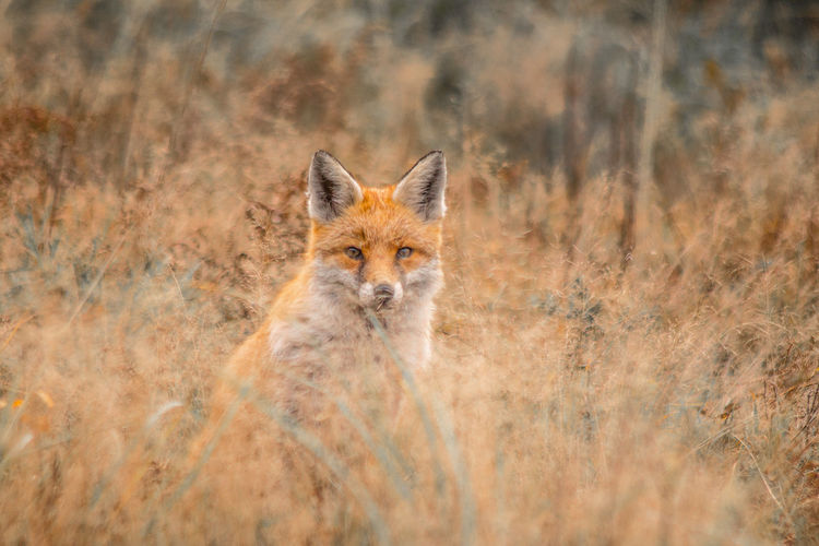 I spy with my foxy eye Exceptional Photographs Subtle Colors Alertness Animal Wildlife Animals In The Wild Arid Climate Day Field Fox Front View Grass Land Looking At Camera Mammal Nature No People One Animal Outdoors Portrait Semi-arid Stealth Vertebrate