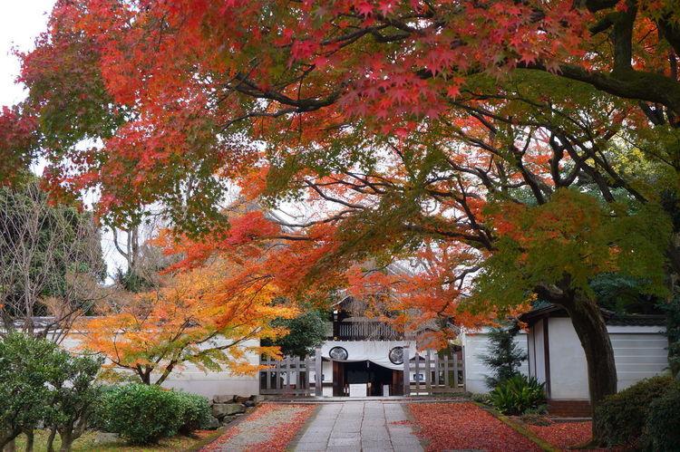 Autumn Kyoto,japan 養源院