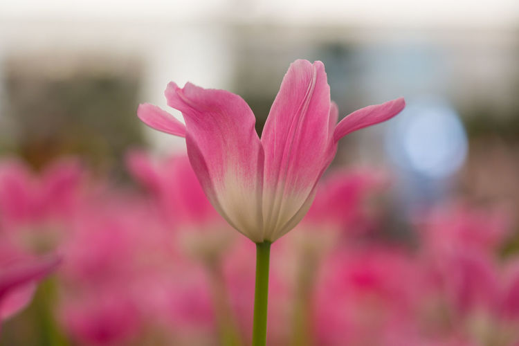 Tulips🌷 Flower Flowering Plant Vulnerability  Fragility Plant Beauty In Nature Freshness Pink Color Close-up Petal Focus On Foreground Growth Inflorescence Nature Flower Head No People Day Selective Focus Outdoors Softness Purple